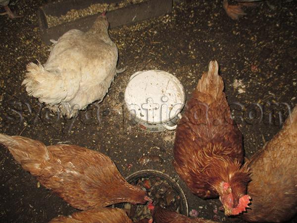 Выхаживание кур после птицефабрики