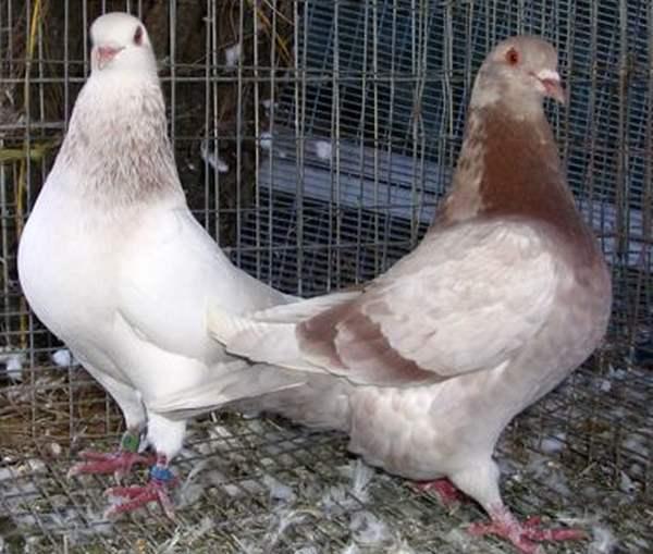 Мясные породы голубей - Тексаны