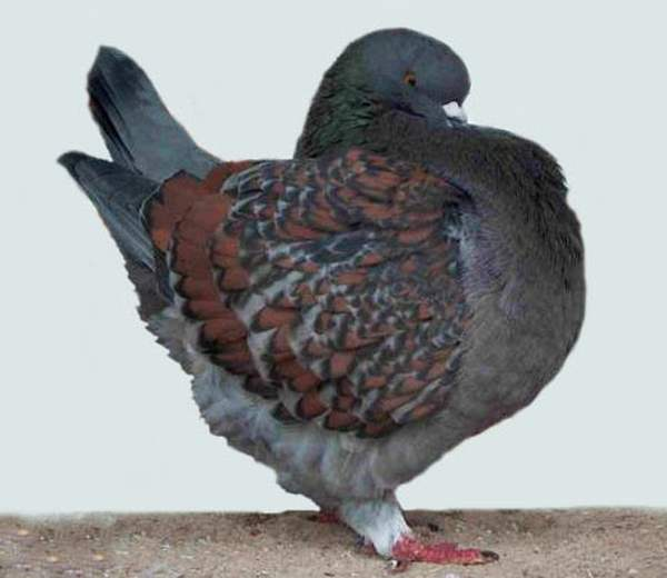Куриная порода голубей - Модена