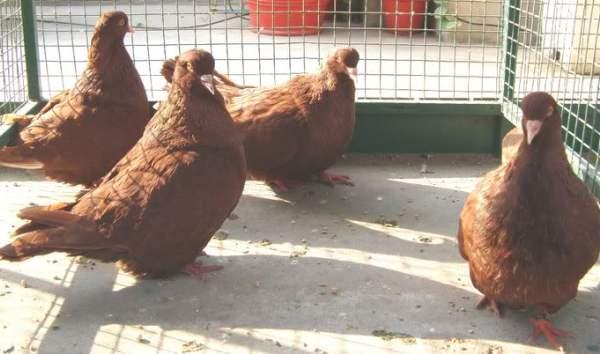 Выращивание голубей в домашних условиях