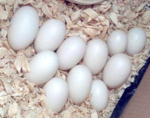 Яйценоскость пекинской породы уток
