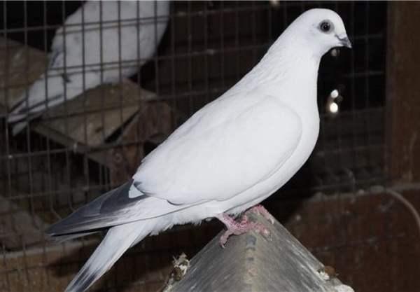 Породы летных кружастых голубей