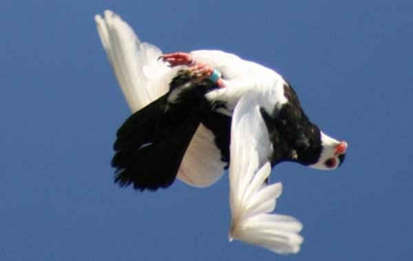 Порода голубей вертунов