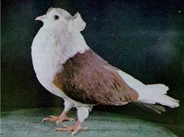 Летный бескружный голубь