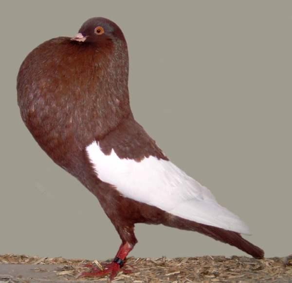 Декоративная порода голубей - Английский дутыш