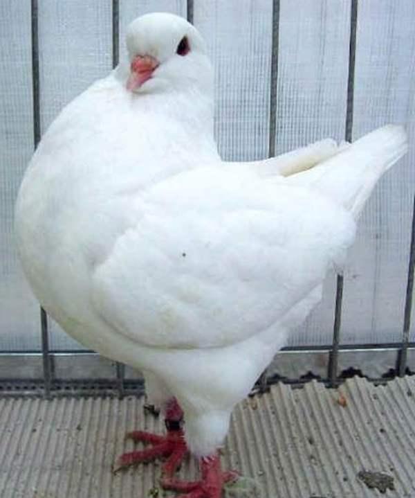 Порода мясных голубей Кинг