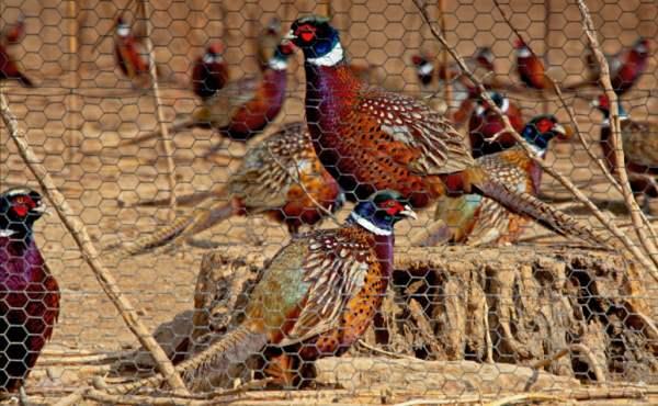 Условия для содержания фазанов в домашних условиях