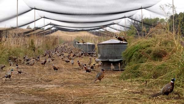 Крытый вольер для содержания фазанов