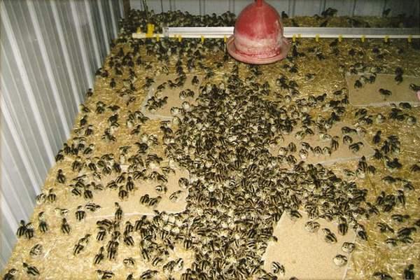 Содержание молодняка фазанов в домашних условиях