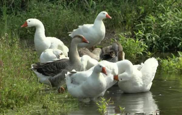 Выращивание гусей в домашних условиях
