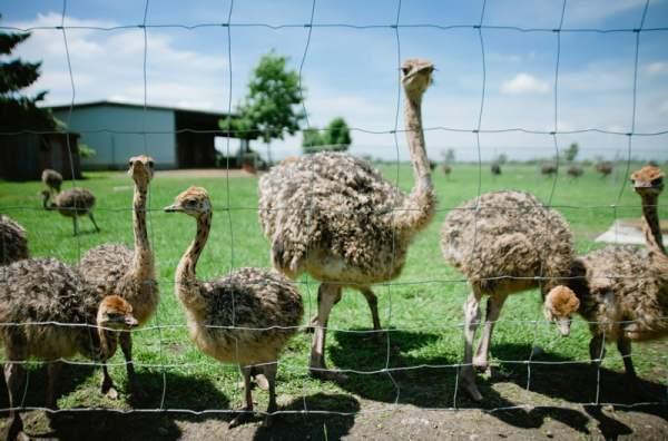 Особенности содержания страусов