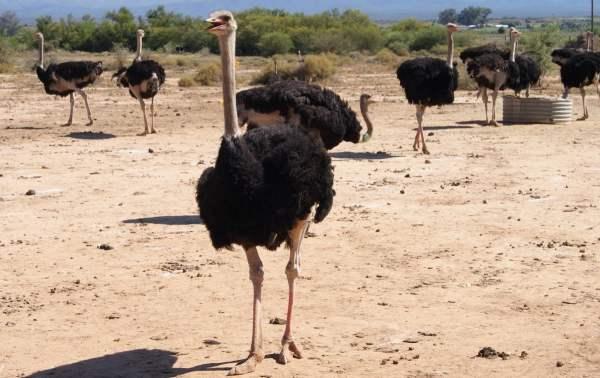 Условия для содержания страусов