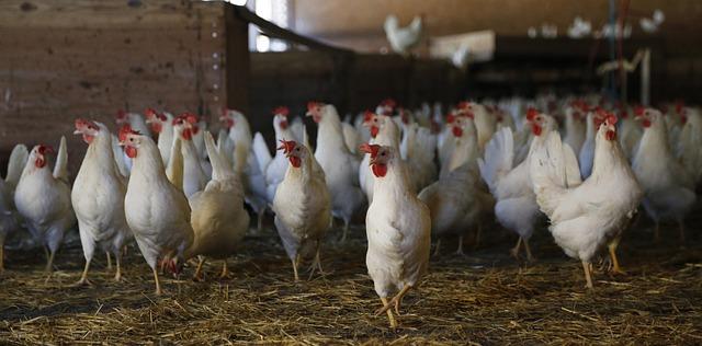 ЮАР: Вице-президент выступает за поддержку национального птицеводства