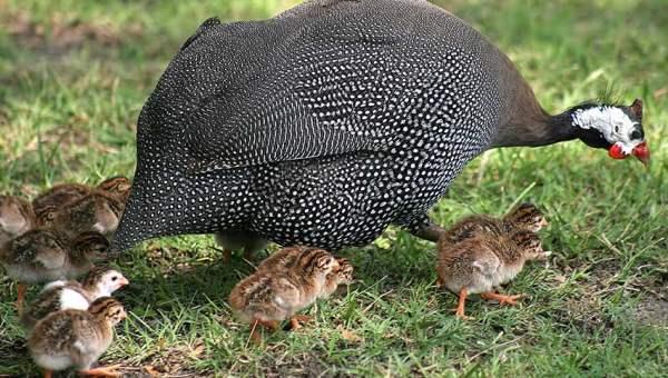 Серо-крапчатая цесарка с птенцами