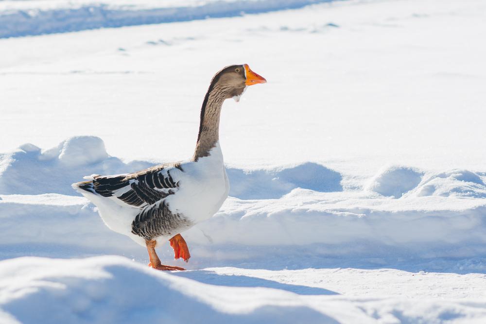 гусак гуляет по снегу