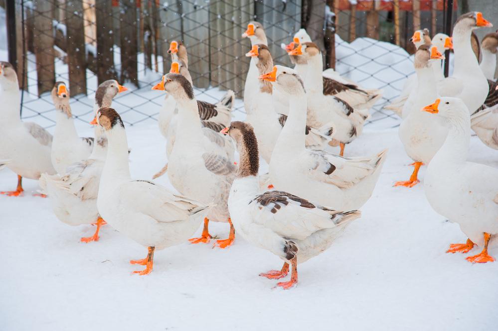 гуси зимой в птичнике