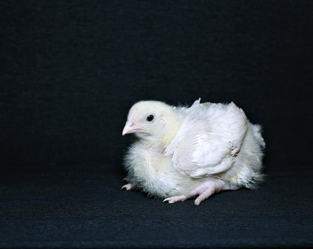 молодой цыпленок бройлера