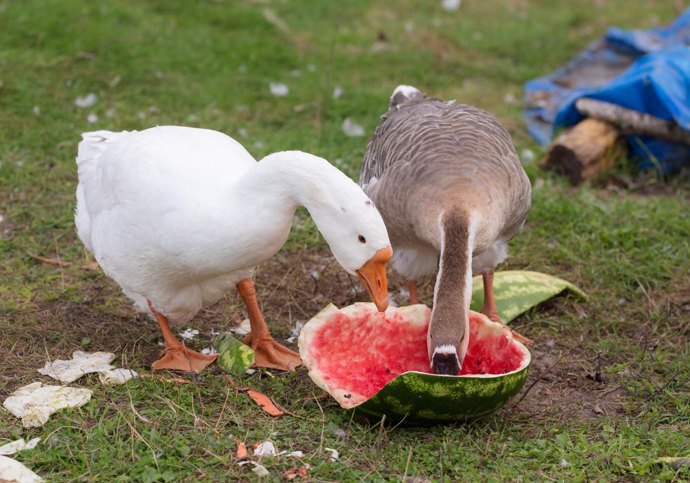 гуси едят арбуз