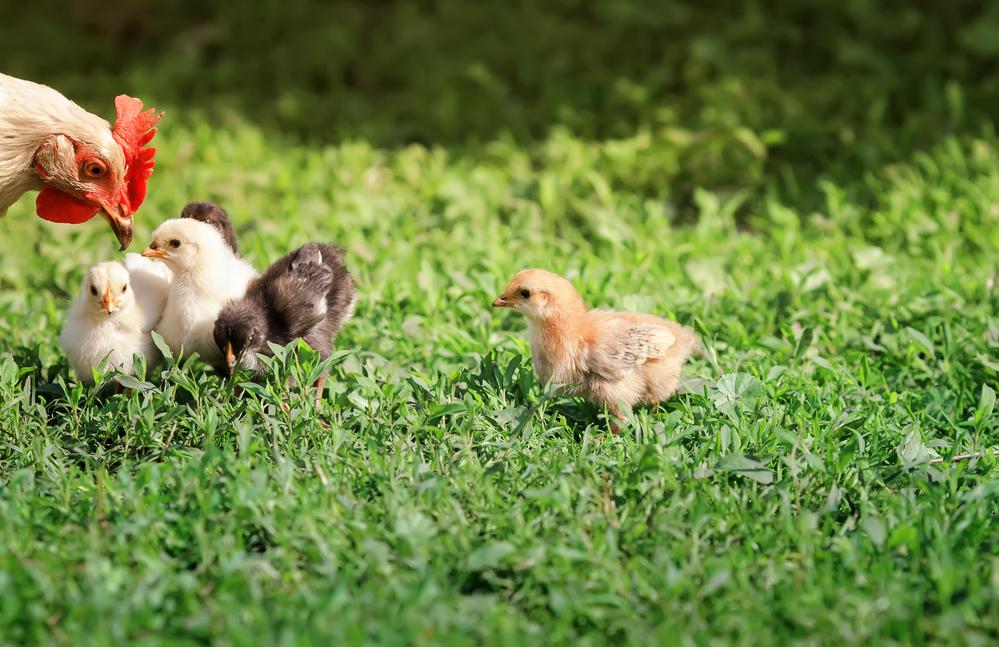 курица гуляет с цыплятами