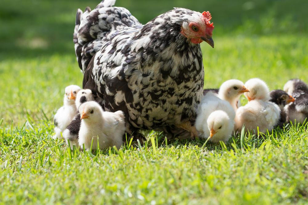 курица наседка с цыплятами