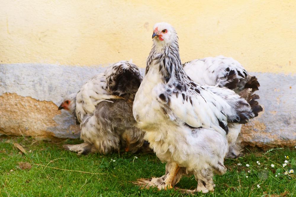 курица брама на выгуле