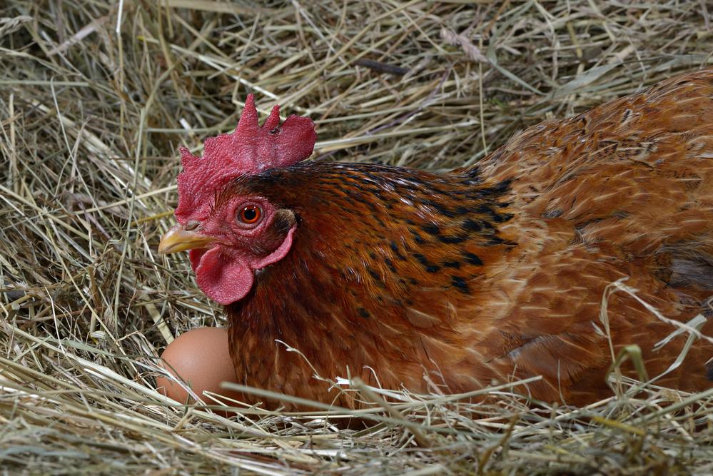 курица сидит в гнезде