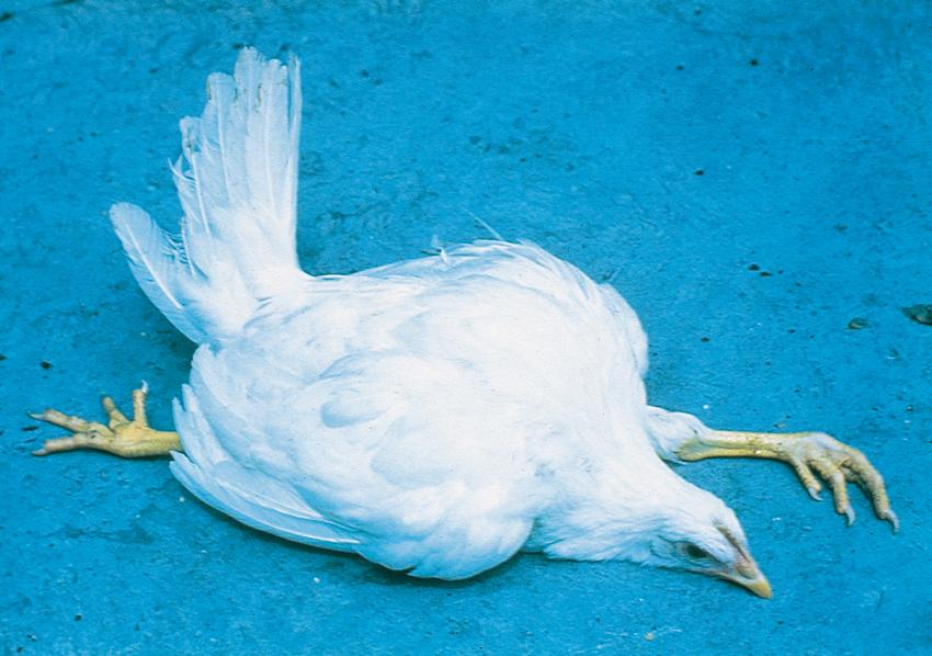 перозис у цыплят