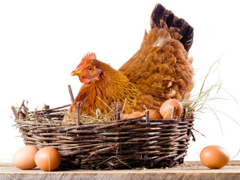 через сколько несется курица