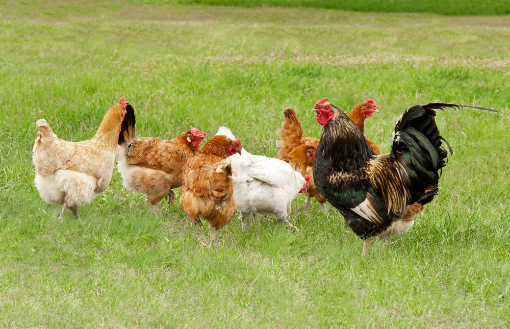 курицы пасутся на траве