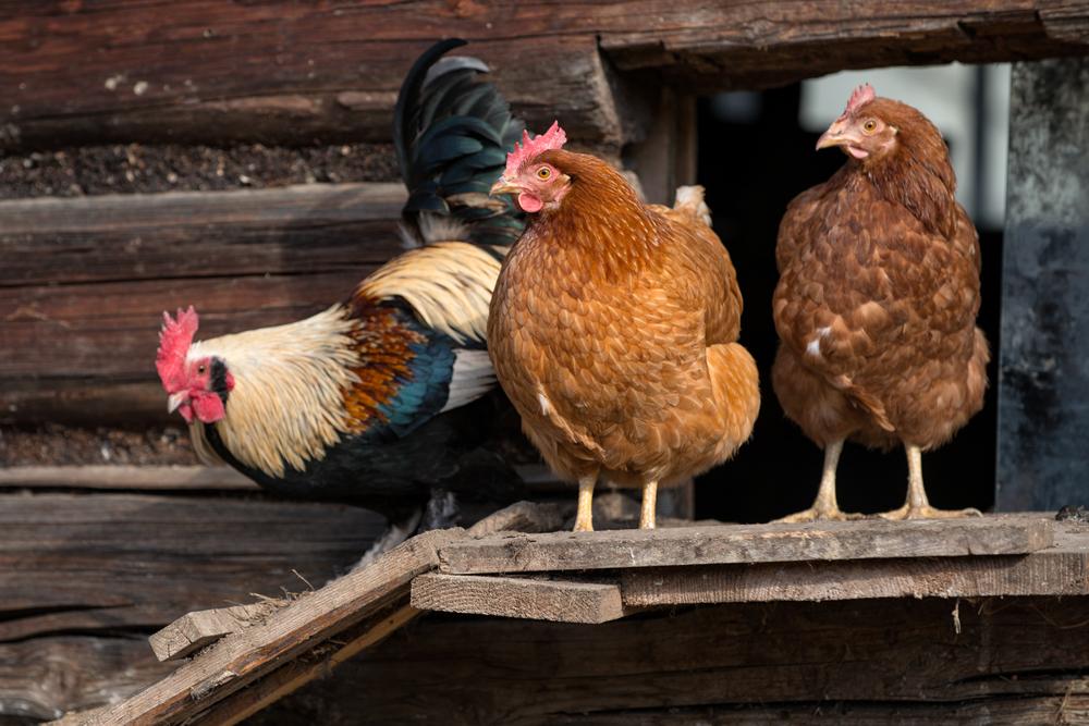 курицы с петухом