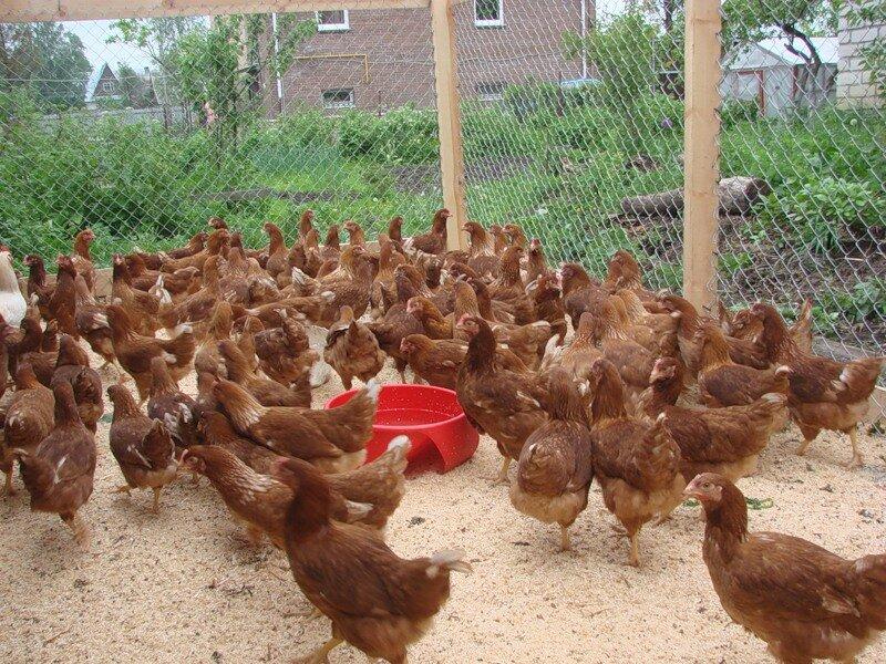 ломан браун цыплята