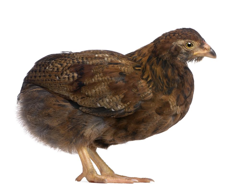 цыпленок араукана