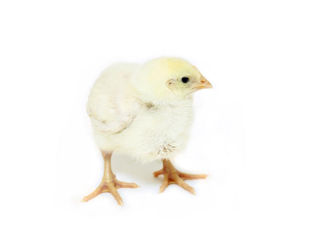 цыпленок бройлер