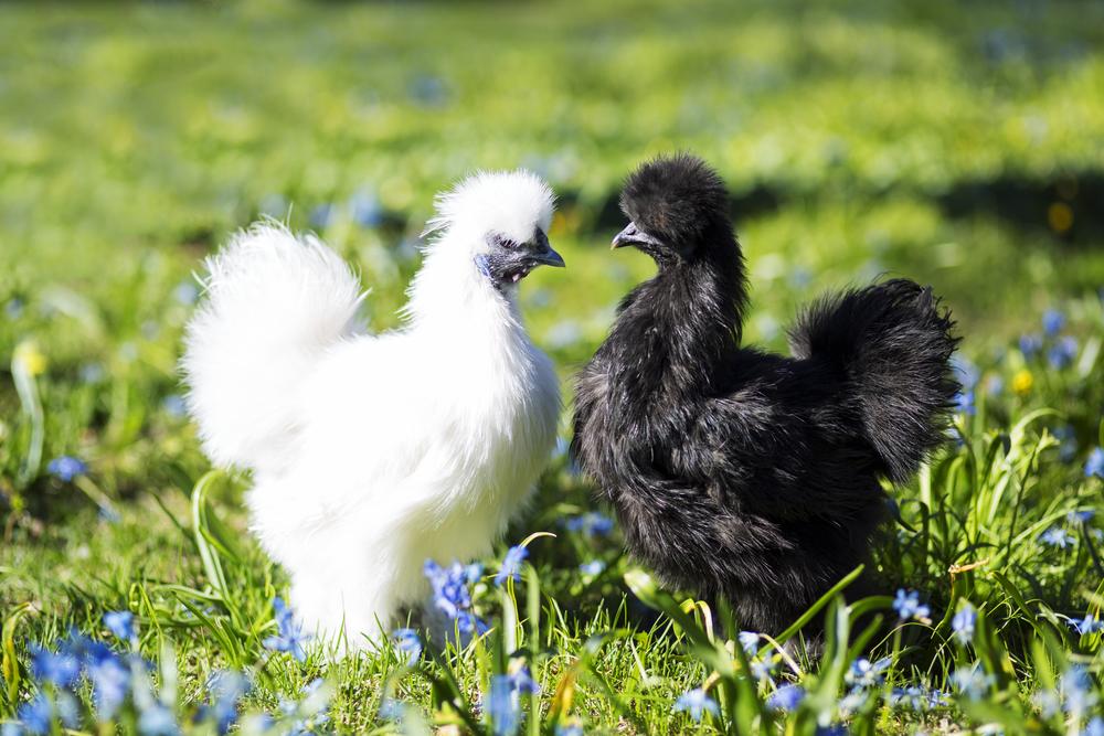 белая и черная курица китайская шелковая