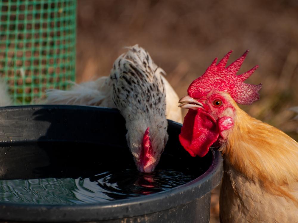 курица и петух пьют воду из ведра