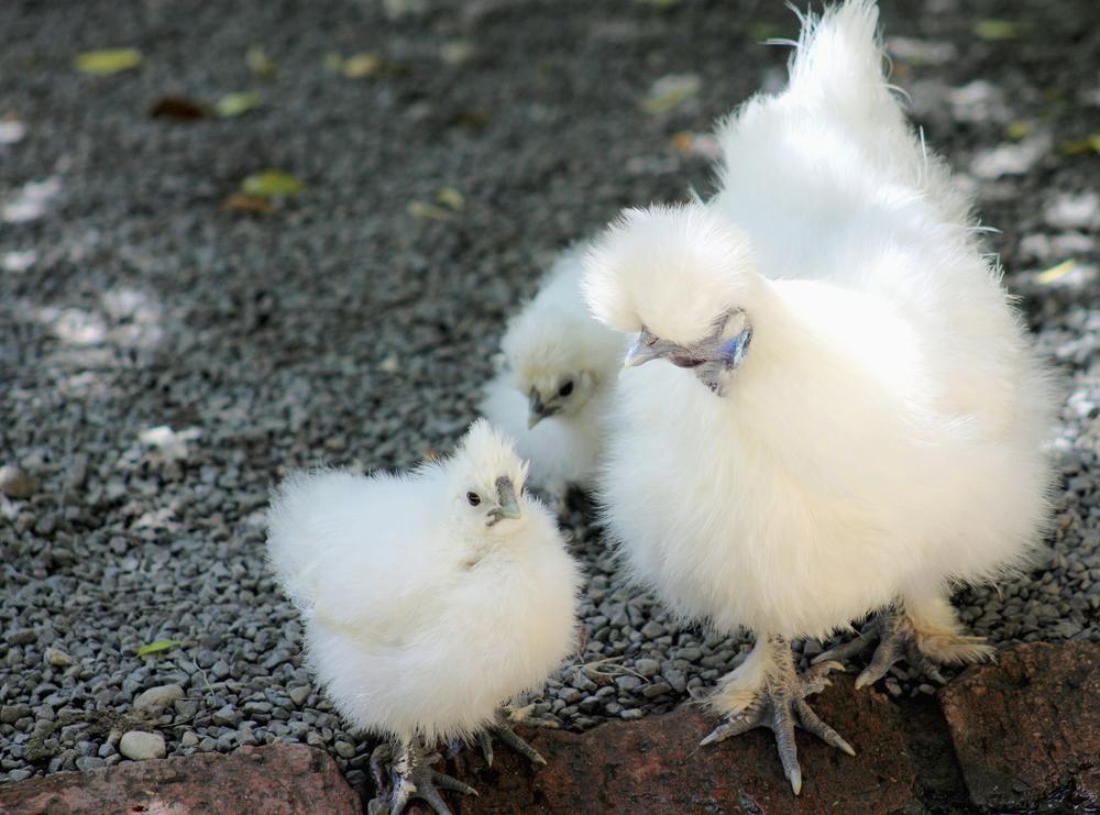 курица китайская шелковая с цыплятами