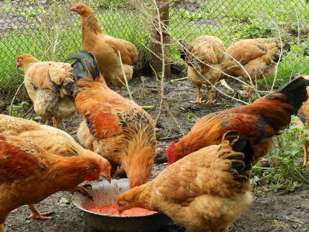 куры кучинской породы едят