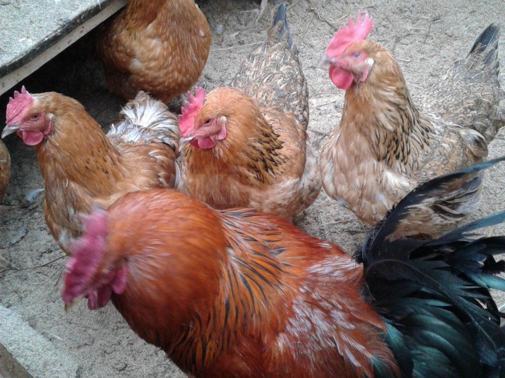 курицы несушки кучинские