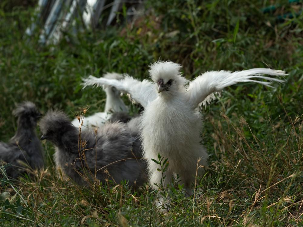 куры китайские шелковые на траве