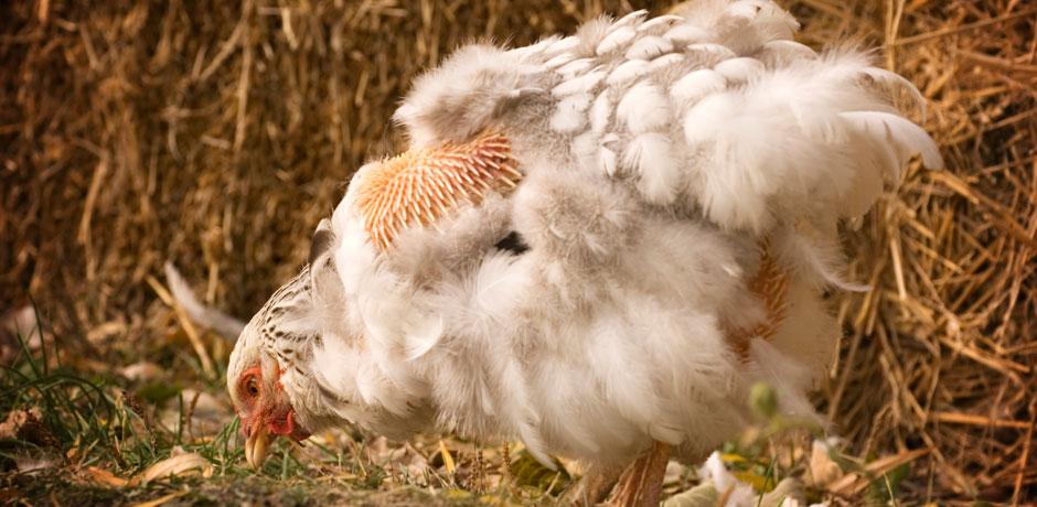 линяющая курица