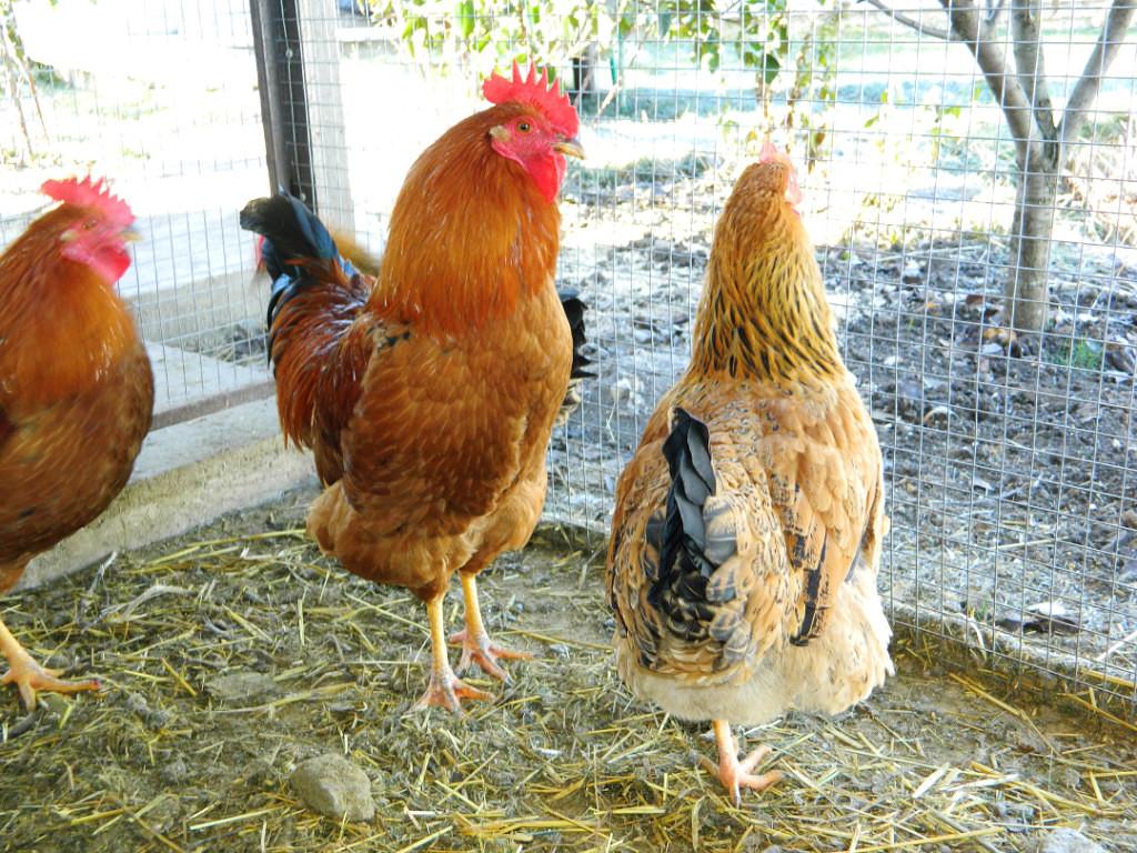 петух с курицами кучинской породы