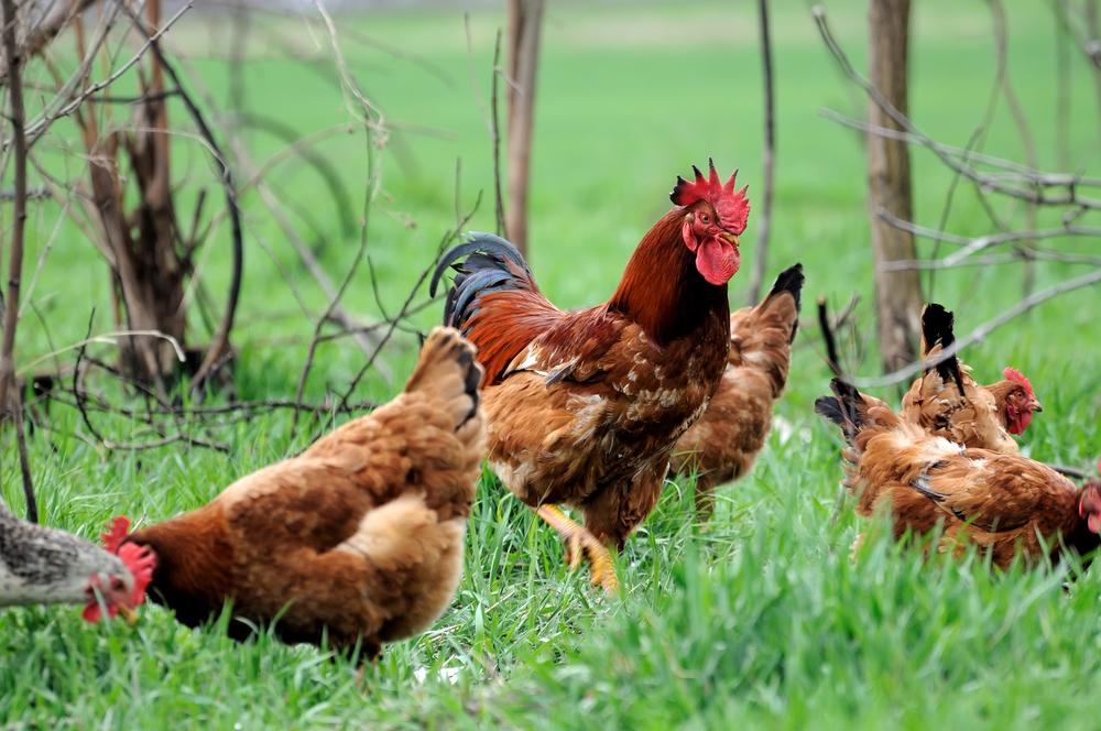 петух с курицами на выгуле