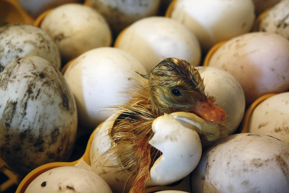 утенок выходит из яйца в инкубаторе