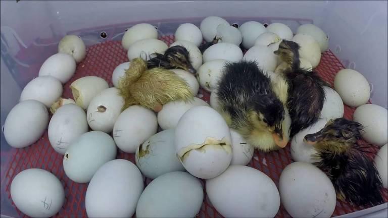 утиные яйца в инкубаторе