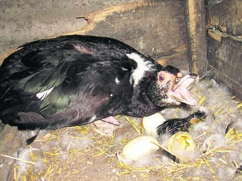 индоутка в гнезде с яйцами
