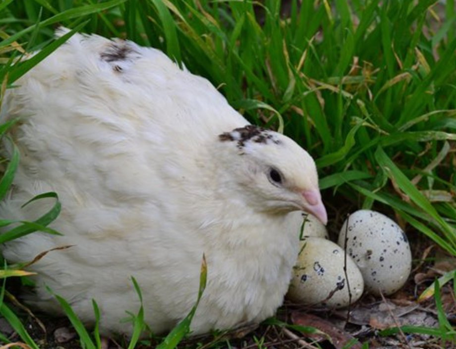 техасский белый перепел сидит на яйцах