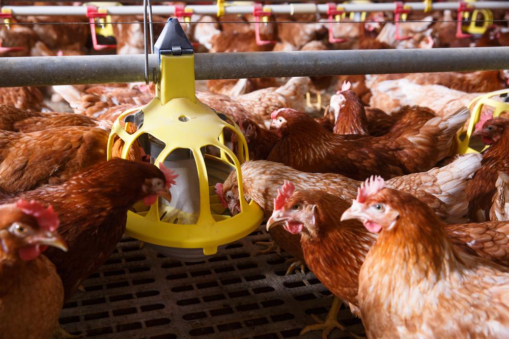 курицы едят из кормушки