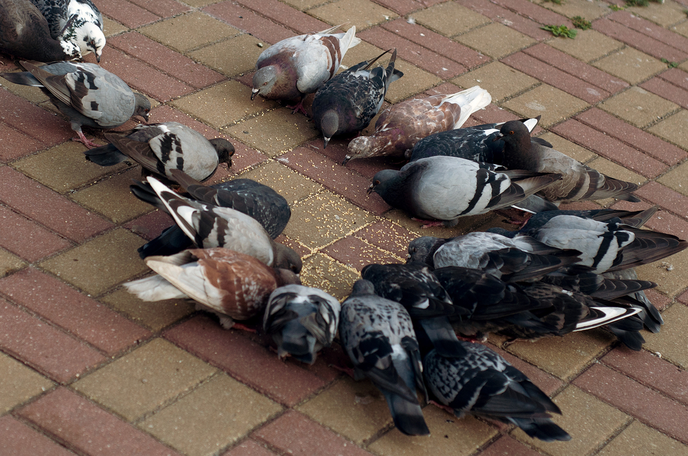 голуби едят просо