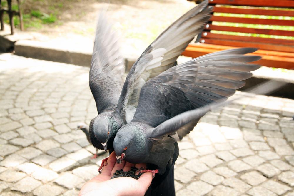 голуби едят с руки