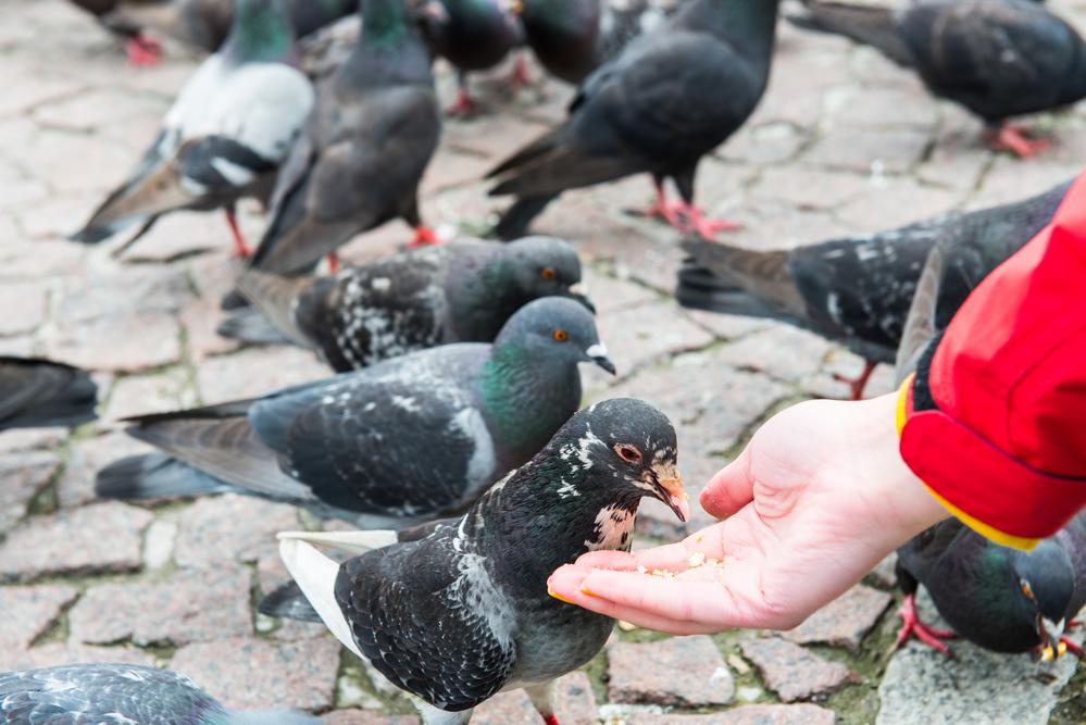 городские голуби едят